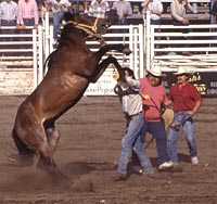 Red Lodge Rodeo Wild Horse Race